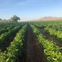Glen Duggins Chile farm in Lemitar New Mexico