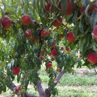 Black Bear Orchards