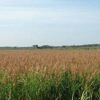 Battlefield Wild Rice  - Kelliher, MN