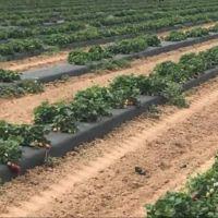 Strawberry rows.jpg